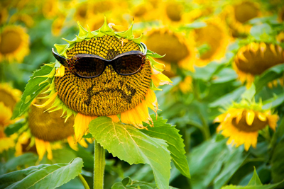 Sunflower-frown_400x